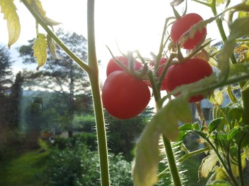 Sprøde, røde og fine ser de ud, og så er der noget vidunderligt ved at vide, at man selv har frembragt dem uden kemikalier eller lignende.